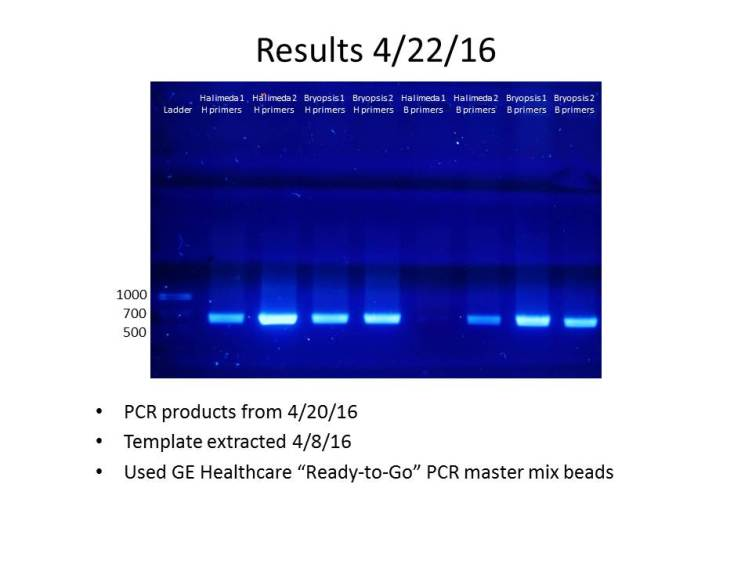 PCR products from 4/22/16, visualized with BioRad UView DNA stain.