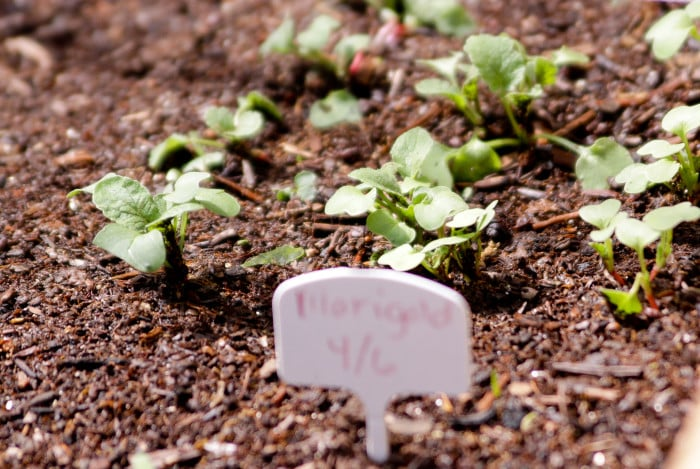 Radishes in the square foot garden