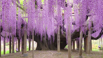 Tochigi, le parc Ashikaga