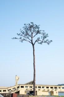 Rikuzentakata, le Pin survivant ( Soleil Levant 75 )