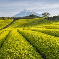 Plantations de thé de Shizuoka..