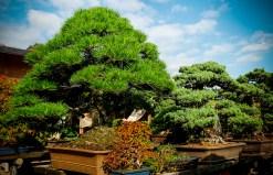 Omiya bonsaï