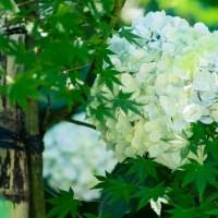 les hortensias, « ajisai »  あじさい, les fleurs stars de la saison des pluies japonaise..