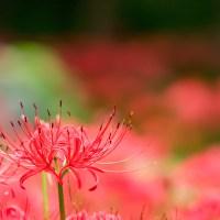 Le lycoris, Higanbana [彼岸花], la fleur qui annonce l'automne..