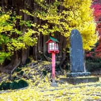 Saitama, le vieux ginkgo du temple Shohoji.