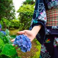 Hortensia« ajisai »  あじさい, la fleur de l'été japonais.