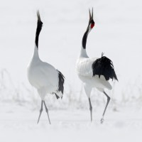 Hokkaido: La danse des grues...