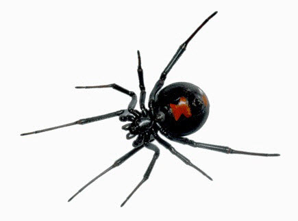 Terrified family find Black Widow spider in their grapes