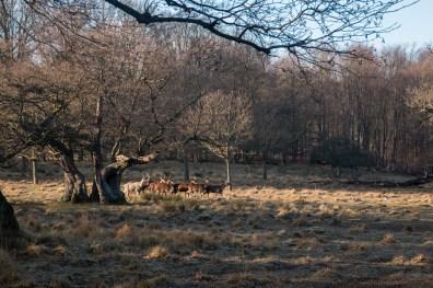 Dyrehave, Kopenhagen. Een ideaal natuurgebied voor het spotten van herten.