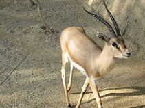 220px-Slender-horned_gazelle_(Cincinnati_Zoo)