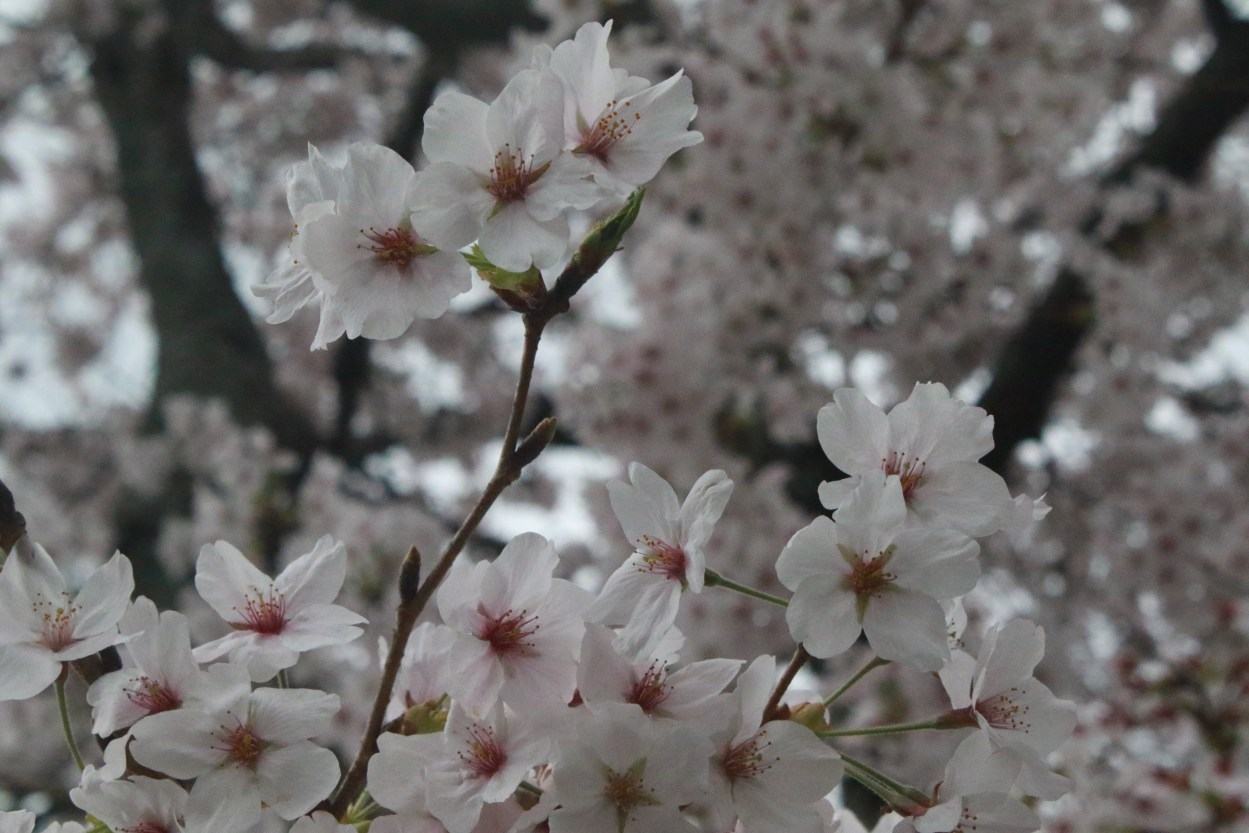 Cherry blossom in Japan