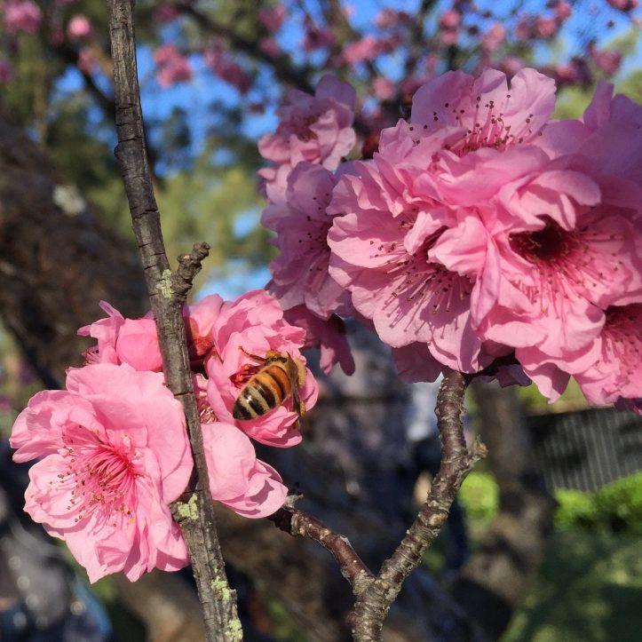 Hanami - Cherry Blossom Festival in Sydney