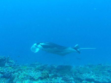 Manta Ray   Maldives