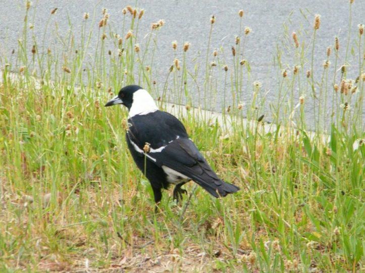 Photo diary of Australian native birds