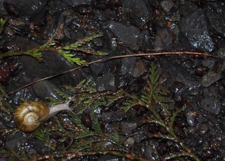 Snail in Olympic National Forest, Washington, April 2010