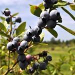 Blueberries at English Lake Farm, U-Pick Farm in Southwest Florida