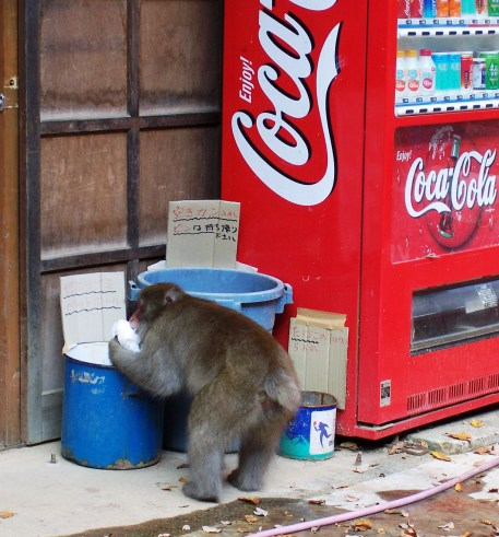 Monkey Outside Jigokudani Wild Monkey Park Scavenges for Food
