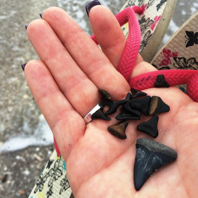 My haul! In 30 minutes I found a dozen fossilized shark teeth on Blind Pass Beach, Fla., Jan. 31, 2016