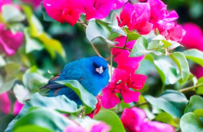 Indigo Bunting in My Bougainvillea, North Port, Florida, Easter Sunday, March 27, 2016