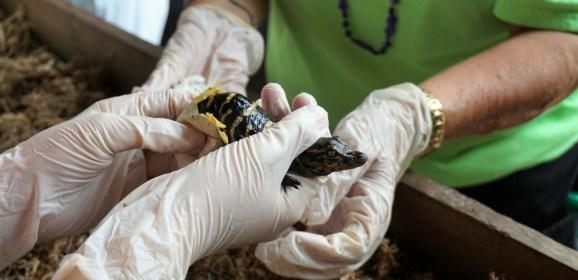 Press Release:  Gatorama's Alligator Hatching Festival is Scheduled for Aug. 21 – 29, 2021