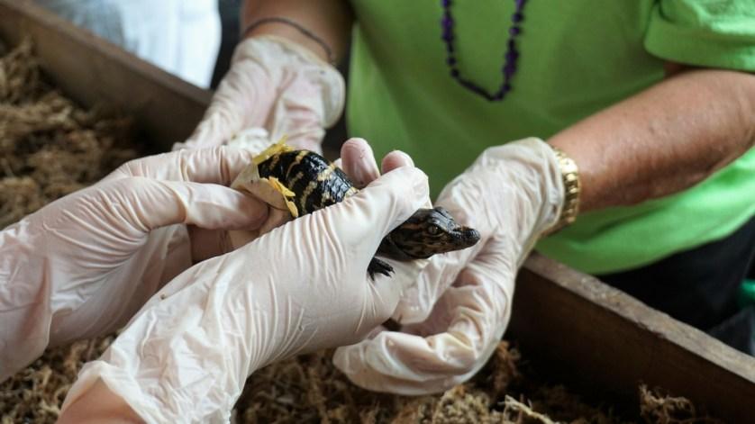 Get a Grip on Gators During the Hatching Festival at Gatorama Alligator Farm & Crocodile Adventures!