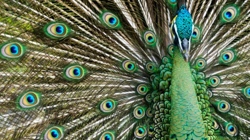 A Handsome Peacock Struts His Stuff at Everglades Wonder Gardens, in Bonita Springs, Fla., July 5, 2018