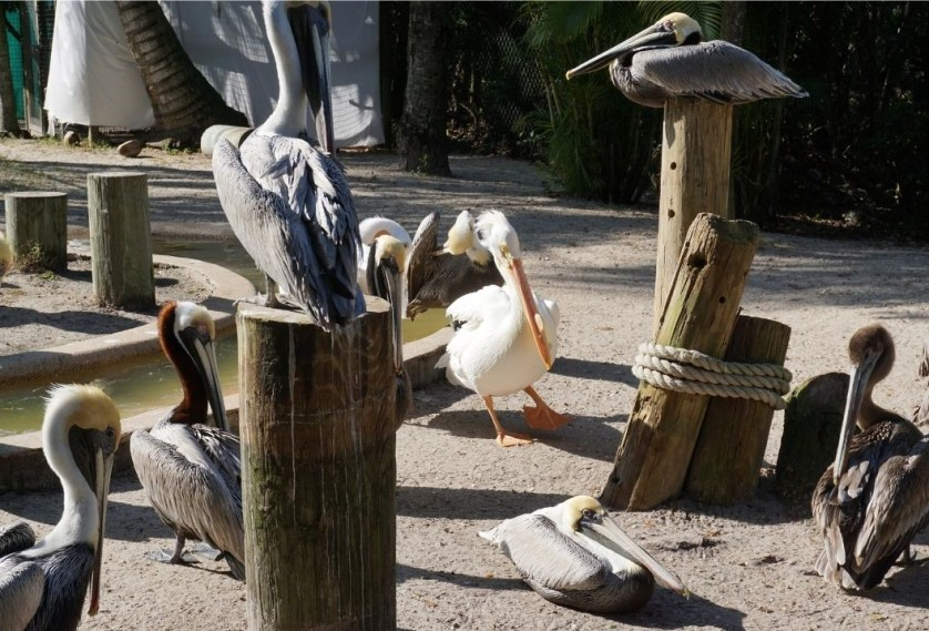 Brown and White Pelicans at the Peace River Wildlife Center in Punta Gorda, Fla., Feb. 2020