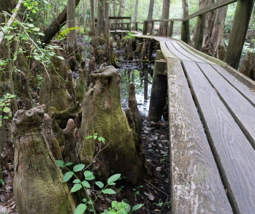The Cypress Swamp Trail Catwalk in Highlands Hammock State Park.