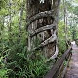 Fakahatchee Strand Preserve State Park: Big Cypress Bend Boardwalk