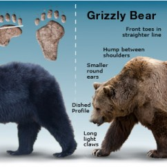 Black Bear Diagram Leeson Iec Motor Dimensions Safety Tips For Encounters Bears Grizz Distinctive Features