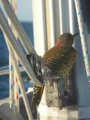 a Northern Flicker woodpecker that hitched a ride on our boom vang for several hours offshore en route to Cape May