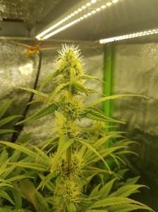 Buds 20 days under rax2