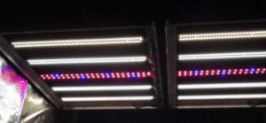 Dual 36 STX Rax w red-blu