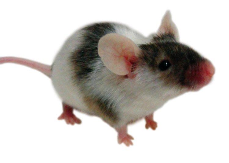 bahaya tikus