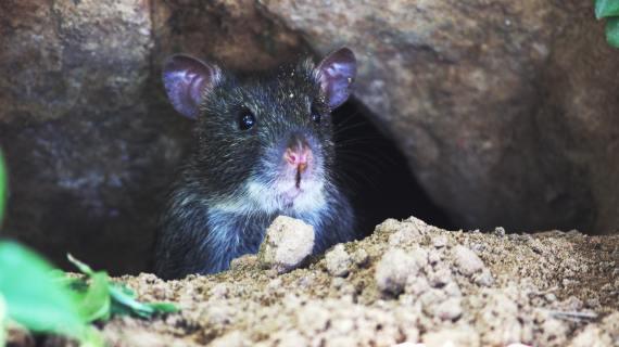 Bahaya Kencing Tikus dan Cara Mengatasi