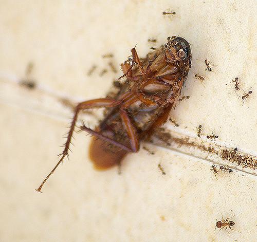 Bahaya yang Ditimbulkan Akibat Membunuh Kecoa
