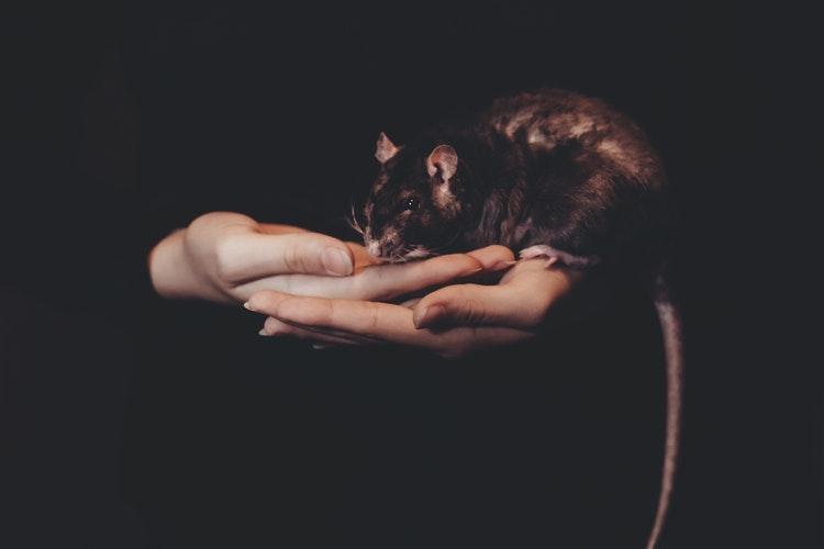 Racun tikus paling ampuh