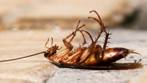 Cara Membasmi Kecoa dengan Bahan Alami