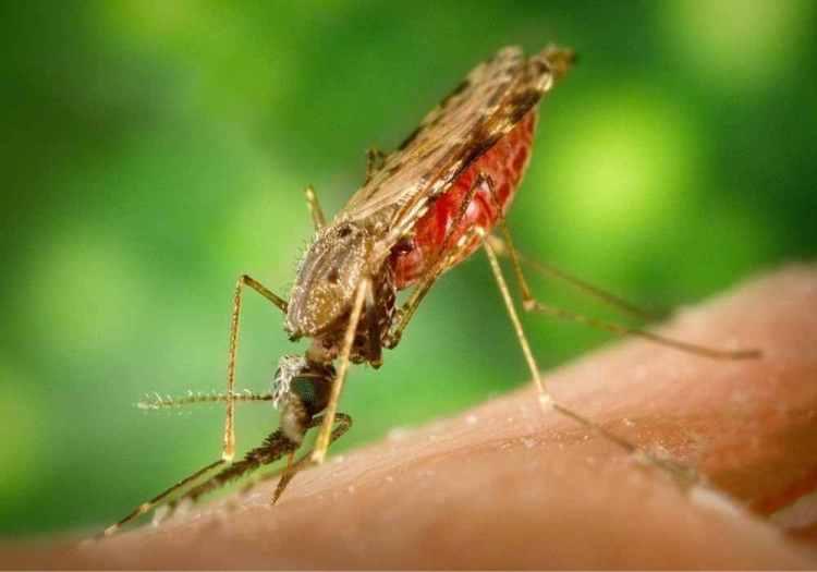 nyamuk malaria