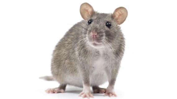 Penyakit yang ditularkan Oleh Tikus