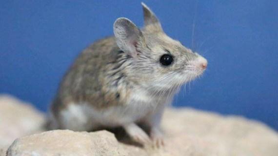 Racun Tikus Mujarab