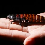 Apakah gigitan kecoa berbahaya bagi tubuh manusia?