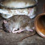 Dampak Buruk Bangkai Tikus untuk Kesehatan Manusia