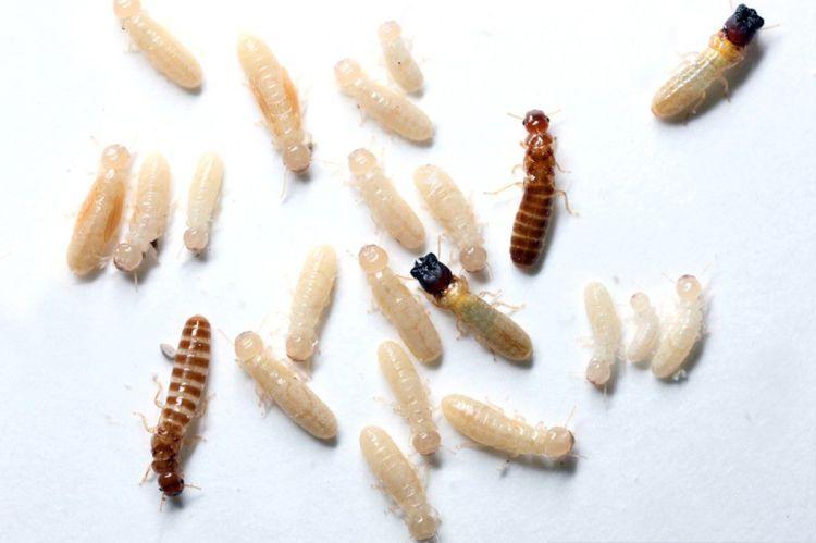 Ini Yang Membedakan Antara Rayap dan Semut