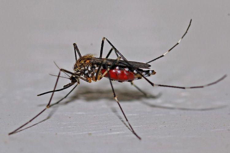 Mengenal Virus Zika Akibat Nyamuk