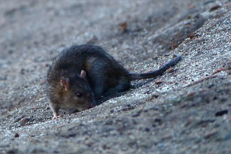 jasa basmi tikus jakarta