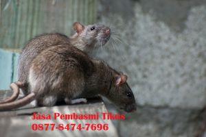 Jasa Pembasmi Tikus