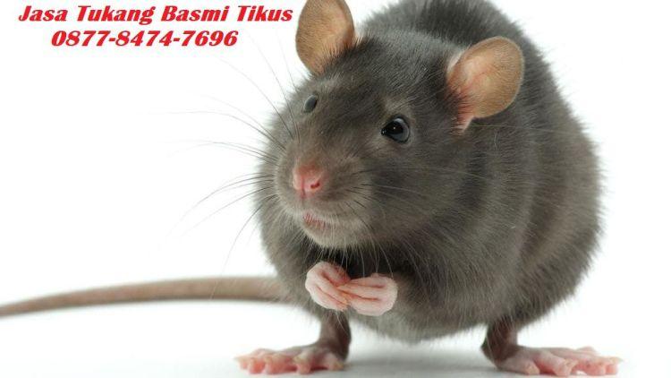 jasa tukang basmi tikus