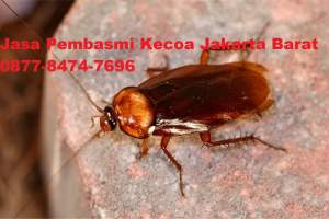 Jasa Pembasmi Kecoa Jakarta Barat