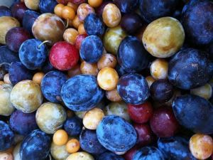 Some of the many varieties of stone fruits that can be grown on one tree